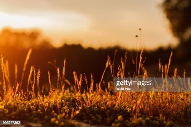 grass in sunset - wald stock pictures, royalty-free photos & images