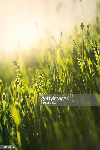 Gras in der Sonne