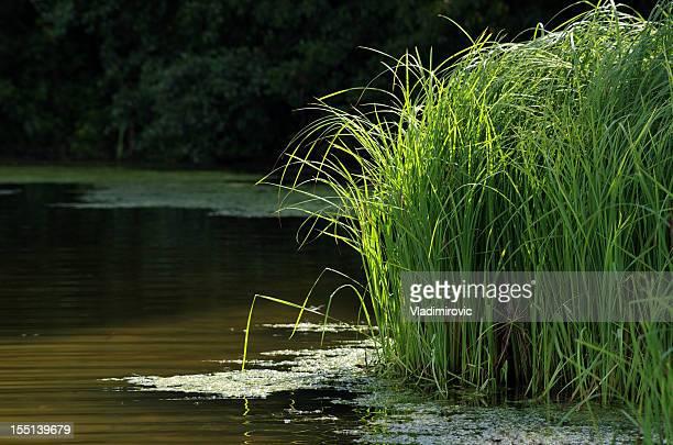 reed-Grass lake