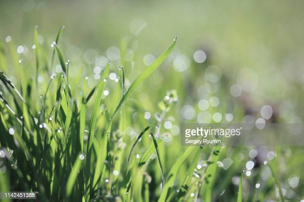 grass lit by the rising sun - 自生 ストックフォトと画像
