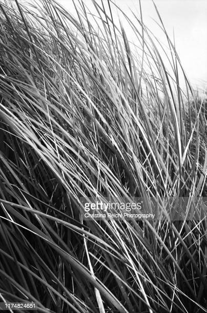 grass on beach flowing in wind - christina luft stock-fotos und bilder