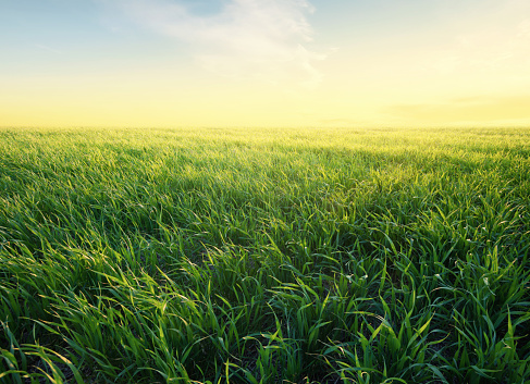 Grass on the field during sunrise. Agricultural landscape in the summer time 914629246