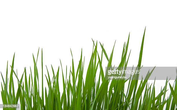 grass on white - tall high stock photos and pictures