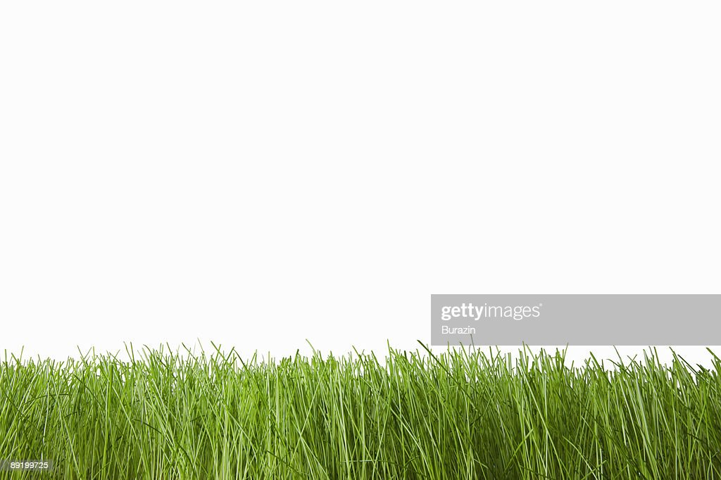 Grass on white : Stock Photo