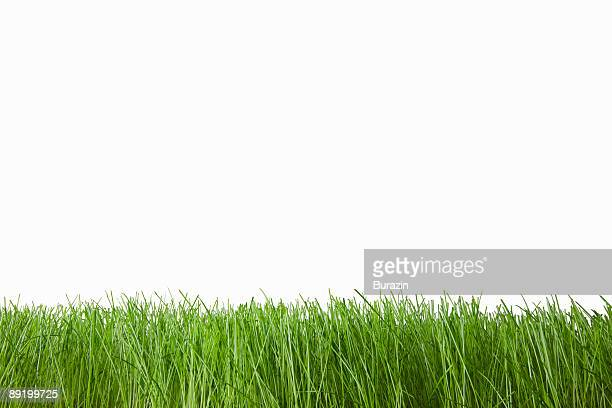 grass on white - grass stock pictures, royalty-free photos & images