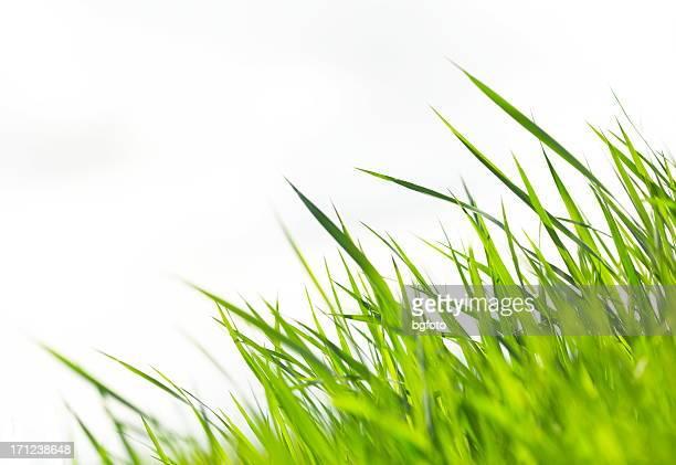 Gras auf weißen XXXL