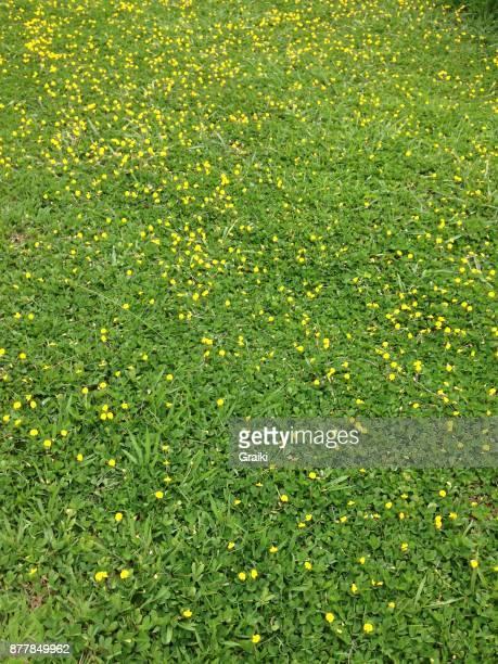 grass peanut