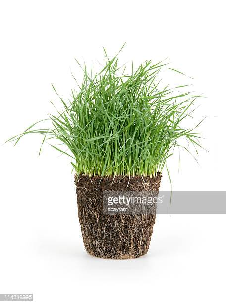 grass - wheatgrass stock photos and pictures