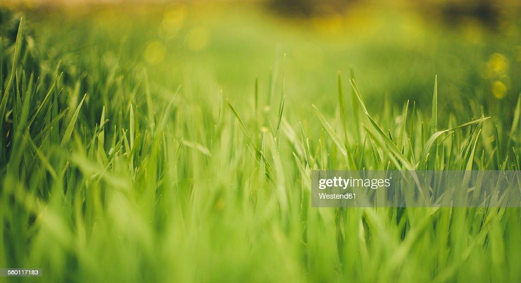 Grass : ストックフォト