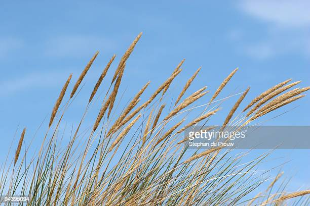 grass plumes - stephan de prouw stock pictures, royalty-free photos & images