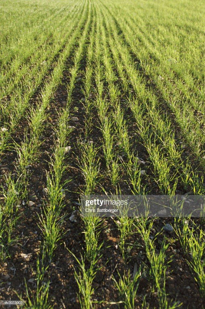 Grass Seedlings Growing in a Field : Stock Photo