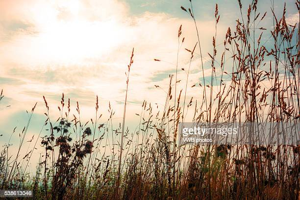 Grass seeds against sunset sky, Hilderstone, Staffordshire