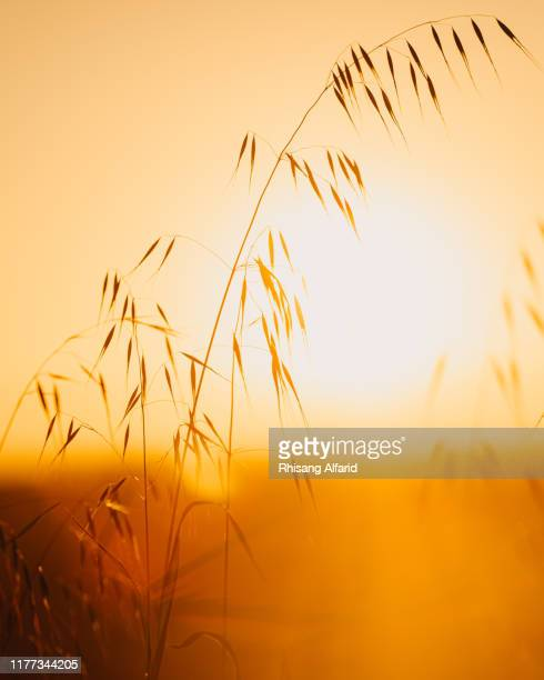 grass seeds against sunset sky - rye grain stock pictures, royalty-free photos & images