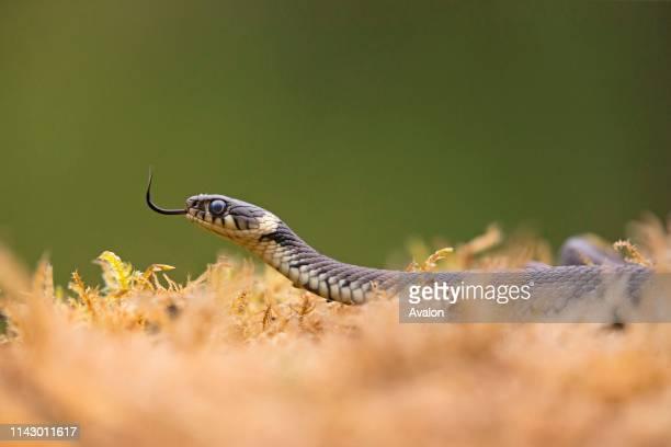 Grass Snake adult flicking tongue, Suffolk, England, UK, August.
