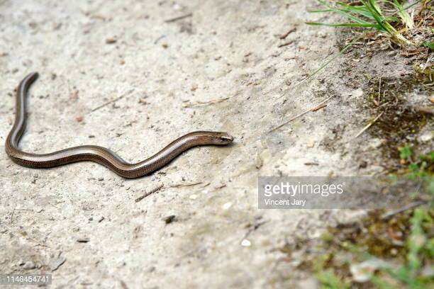 grass snake brittany france - hognose snake stock pictures, royalty-free photos & images
