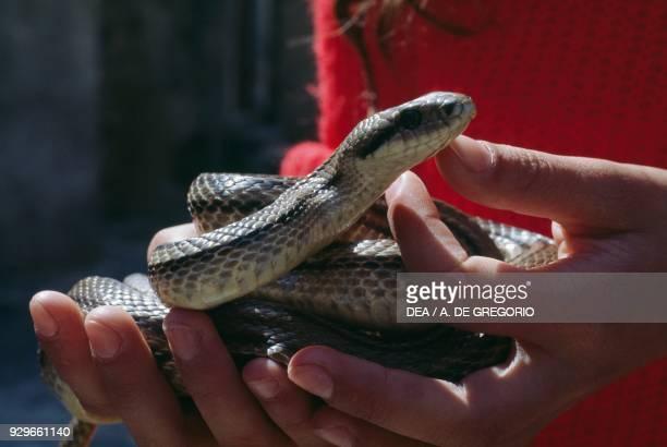Grass snake captured for the Serpari festival Cocullo Abruzzo Italy