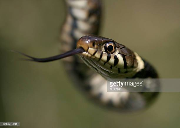 grass snake closeup - grass snake stock pictures, royalty-free photos & images