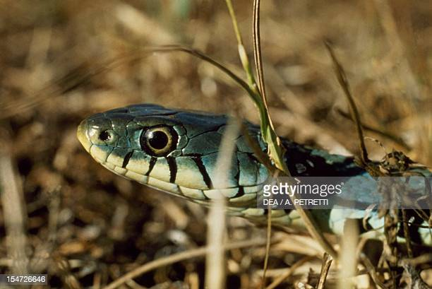 Grass snake Colubridae Detail of the head