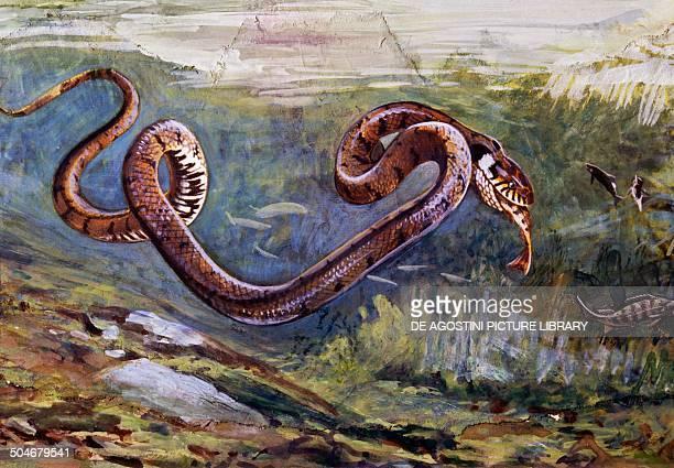 Grass Snake Colubridae drawing