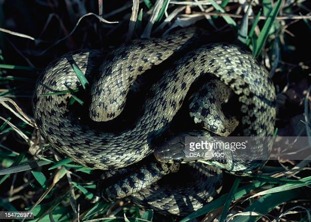 Grass snake Colubridae