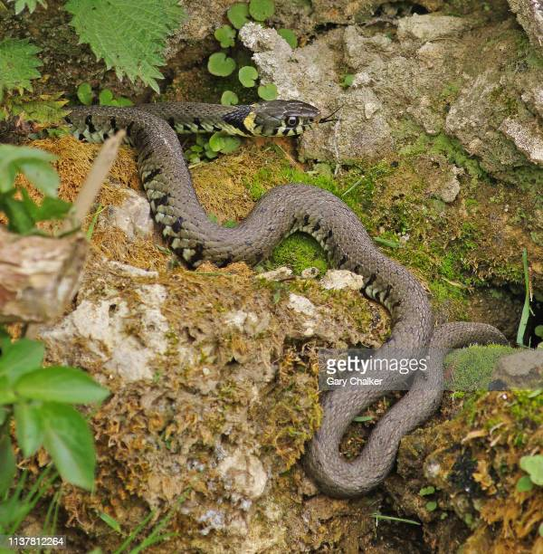 grass snake [natrix natrix] - animals in the wild stock pictures, royalty-free photos & images