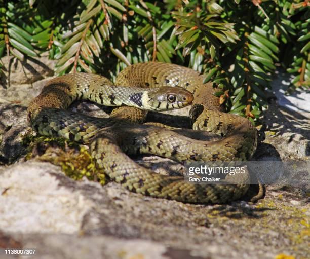 grass snake [natrix natrix] - ヨーロッパヤマカガシ ストックフォトと画像