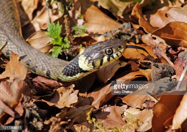 grass snake [natrix natrix] - grass snake stock pictures, royalty-free photos & images