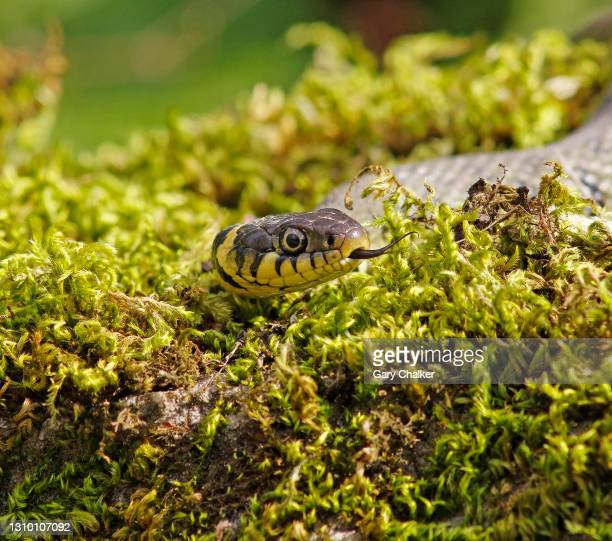 grass snake [natrix natrix] - animal body part stock pictures, royalty-free photos & images