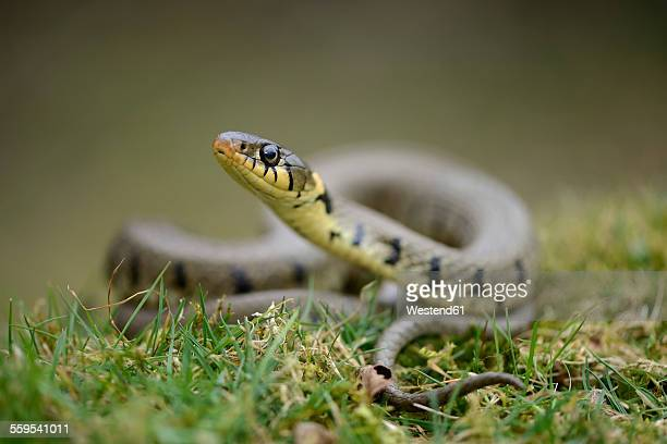 grass snake on a meadow - grass snake stock pictures, royalty-free photos & images