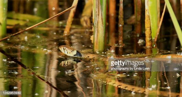 grass snake - ヨーロッパヤマカガシ ストックフォトと画像