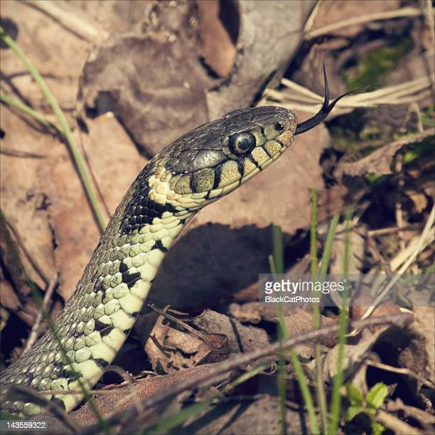 grass snake - cat snake stock photos and pictures