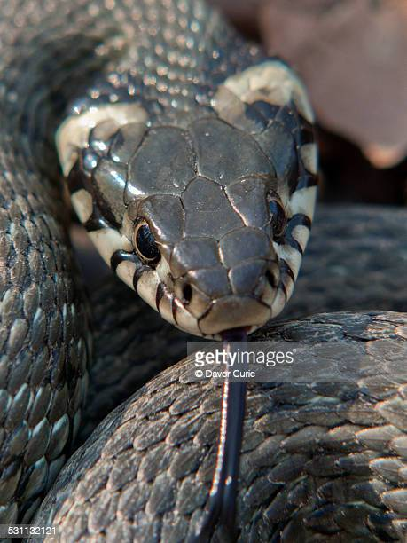 grass snake - grass snake stock pictures, royalty-free photos & images