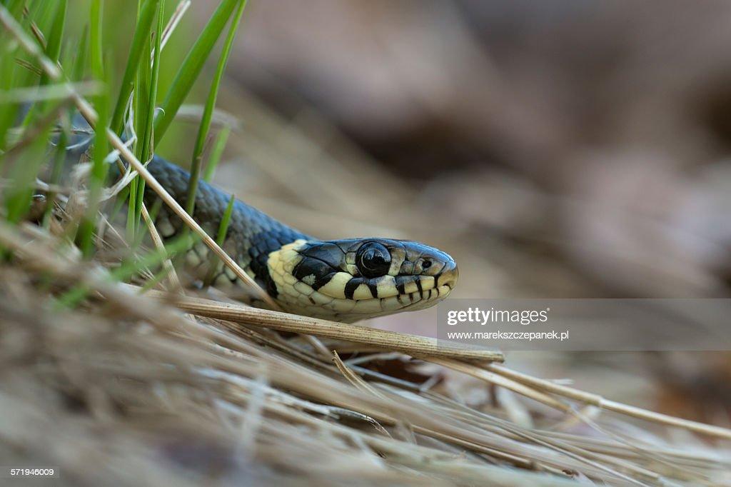 Grass snake : Stock Photo