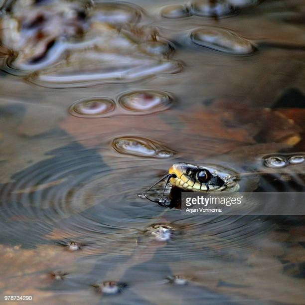 grass snake (natrix natrix) swimming in water - grass snake stock pictures, royalty-free photos & images