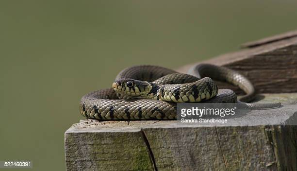 a grass snake warming up in the sun - ヨーロッパヤマカガシ ストックフォトと画像