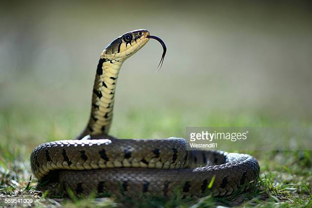 Grass snake with outstretched tongue