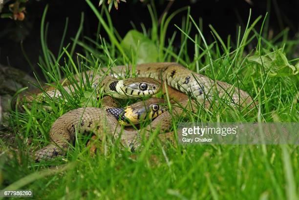 grass snakes [natrix natrix] - ヨーロッパヤマカガシ ストックフォトと画像