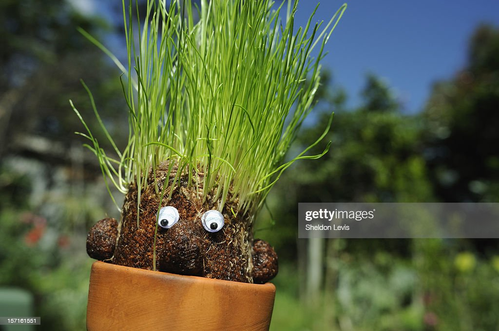 Grass sprouting forms 'hair' on nylon mesh 'head' : Stock Photo