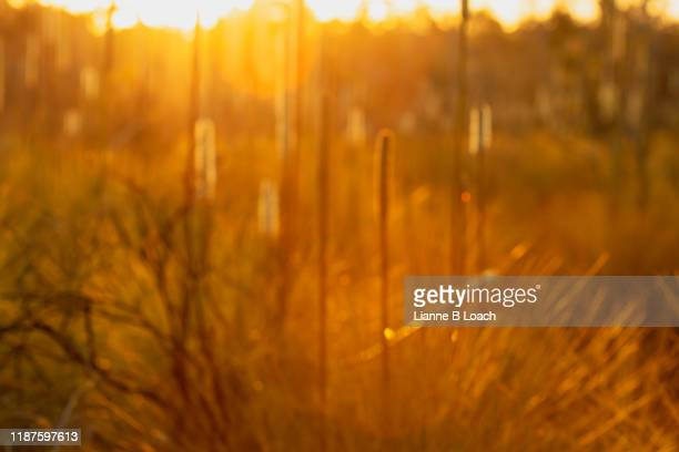 grass tree sunset - lianne loach stock pictures, royalty-free photos & images