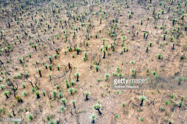 grass trees (xanthorrhoea) regrowth in bushfire affected area - australia fire stock pictures, royalty-free photos & images