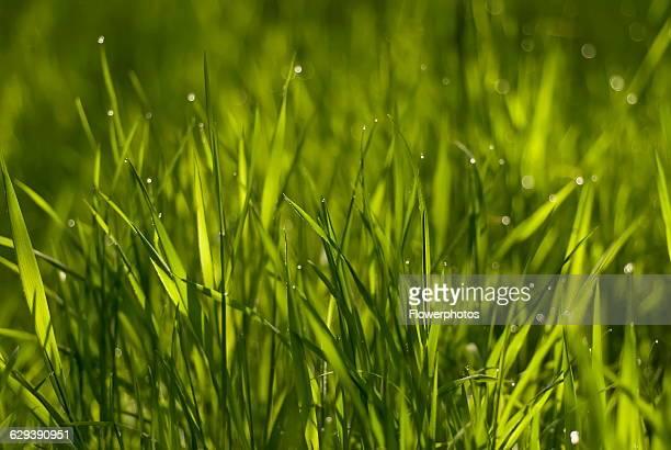 Grass variety not identified