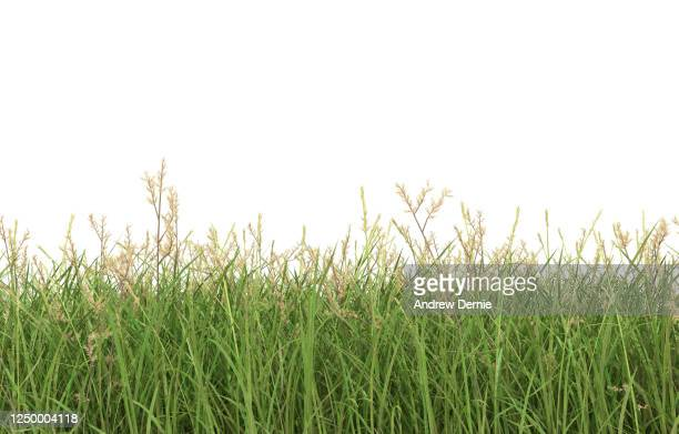 grass viewed from the side, isolated on a white background 3d render - andrew dernie stock pictures, royalty-free photos & images