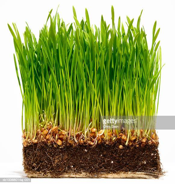 Grass with soil and roots on white background