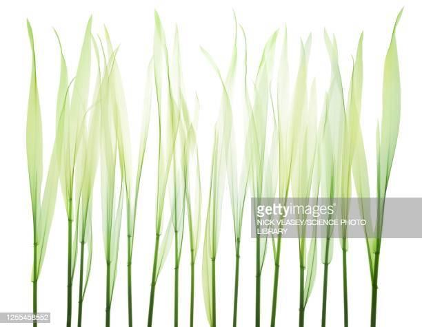 grass, x-ray - filo d'erba foto e immagini stock