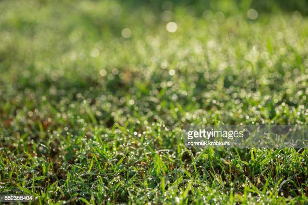 Grass yard with dew in morning