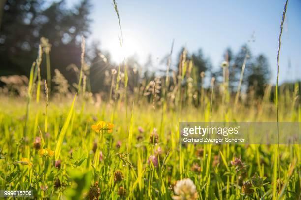 Grasses backlit, on a flower meadow, Lans, Tyrol, Austria