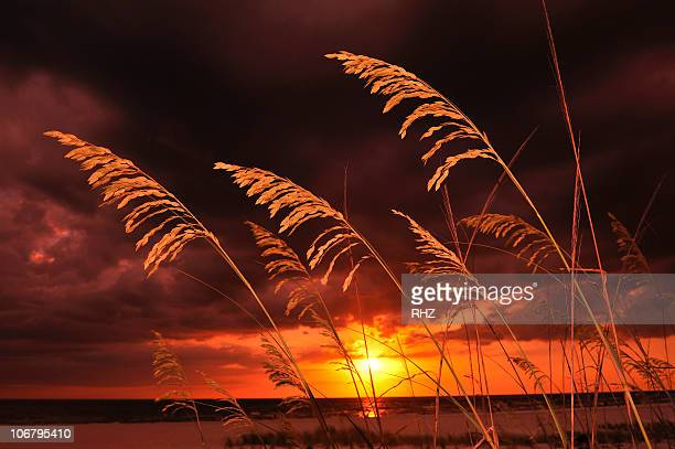 grasses on sand dunes on beach with a colorful sunset in florida. - st. petersburg florida stock pictures, royalty-free photos & images