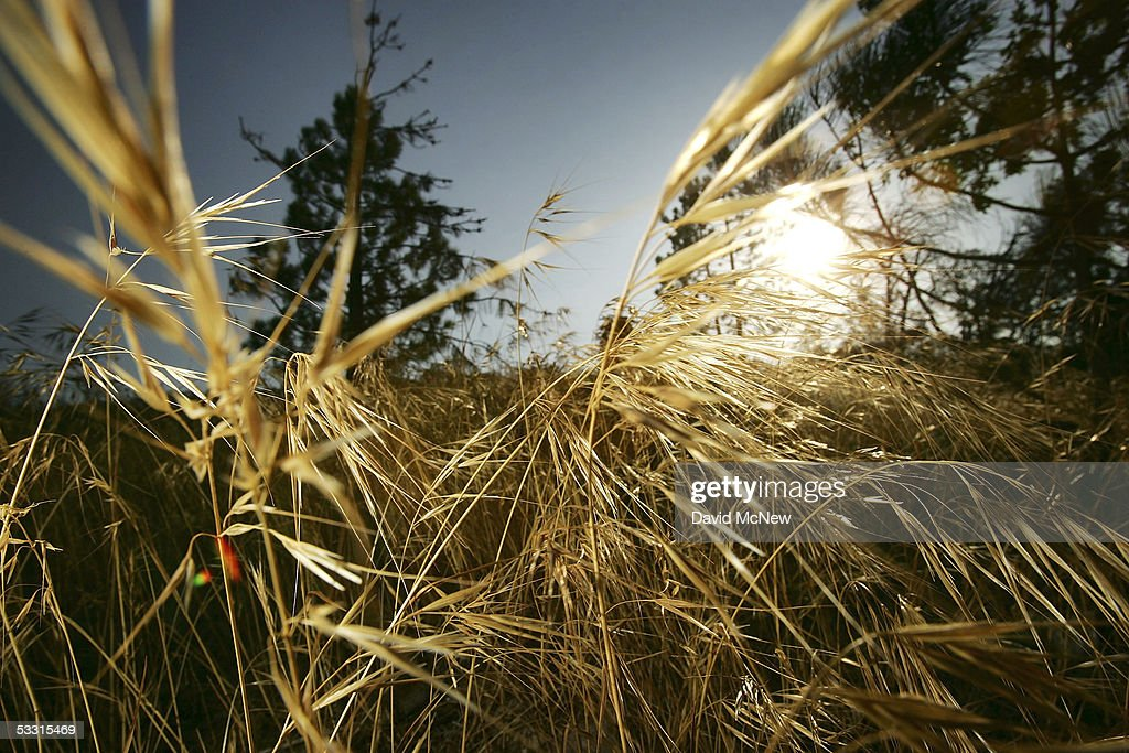 Grasses which grew rapidly after a winter of record rains and have dried out to become possible flashpoints for wildfires are seen on August 1, 2005 near Lake Arrowhead, California. Last winter was one of the wettest on record, dropping 90 inches of rain in some southern California mountain areas and creating the thickest vegetation growth in memory, and damaging more than 2,000 miles of fire access roads used to protect 2.3 million acres of forests. In addition to the many thousands of trees killed by a massive pine beetle infestation, newly grown vegetation is drying up under triple-digit temperatures and raising fears of a repeat of the devastating fire season of 2003. President Bush signed an emergency funding bill in May allocating $25 million to fix roads in southern California?s national forests but Congress has acted slower than expected in providing the money so some of the repairs might not be done until October.