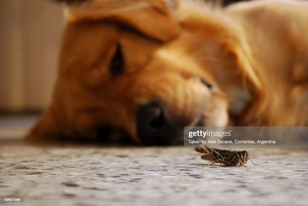 Grasshopper and Golden Retrivier in the background : Stock Photo