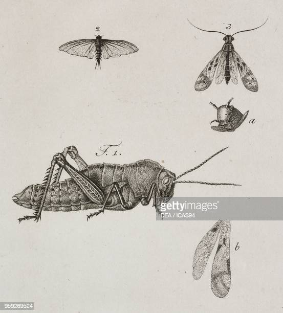 Grasshopper and other insects engraving by Raffaele Biondi after a drawing by Antonio Siesto from Atti della Reale Accademia delle Scienze Sezione...